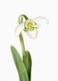 Galanthus 'G75', Greatorex-Doubles