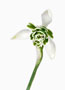 Galanthus 'Jaquenetta', Greatorex-Doubles